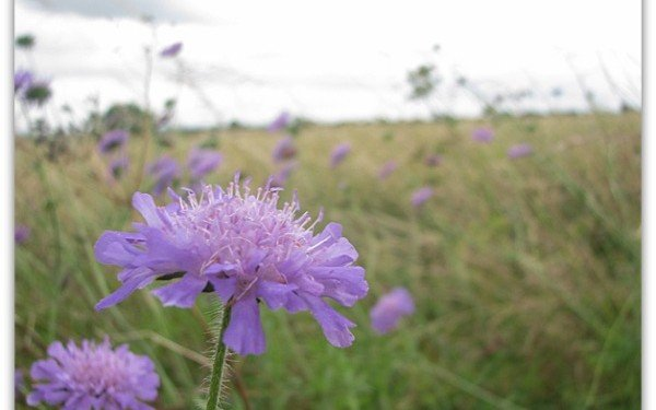 Cornflower in Cotswolds